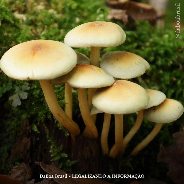 DaBoa-Brasil-Legalizando-A-Informação-blog-O-uso-da-psilocibina-contra-a-dor-crônica